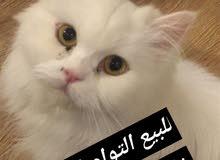 قطه شيرازية مون فيس 0533693446