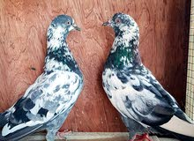 pakistani pigeons for sale (pair)