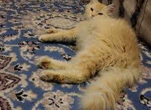 قطه انثي شيرازي منتجه
