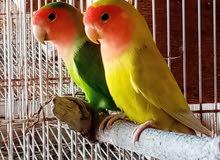 طيور روز للبيع او البدل