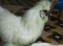 ديج ودجاجه كامل مواصفات للبيع ولسعر 90