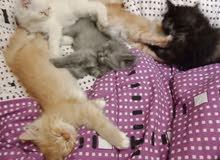 قطط شيرازي سن 3 شهور