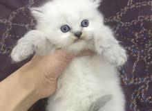 قطط هيمالايا لينكس