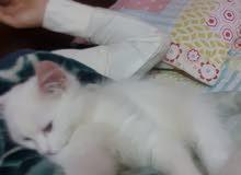 سلام عليكم ورحمة الله وبركاته..عندي قطه شيرازي للبيع