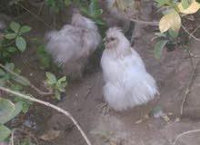 دجاج كوجن ريش و شعري