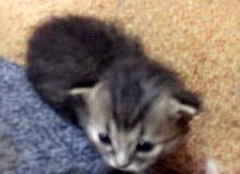 قطه ام 3 قطط صغار شيرازي