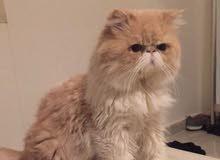 قط شيرازي بيكي كريمي اللون للبيع مستوى عالي