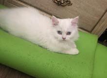 قطط للبيع بسعر رمزي