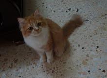 قط للبيع العمر 6 شهور