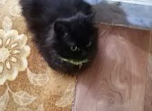 قط فارسي للبيع دكر عمره 3شهور