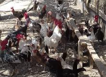 دجاج عماني محلي