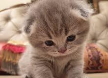 pure Scottish fold female kitten high quality