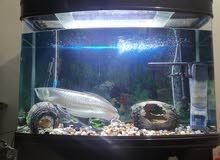 Full set Aquarium with Silver Arowana
