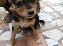 كلب مهجن مع جيرمن
