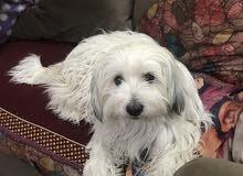 كلب تيرر انثى متوسط العمر للبيع