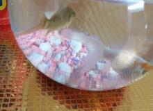 سمك وسطاني  للبيع بسعر مغري قابل للتفاوض