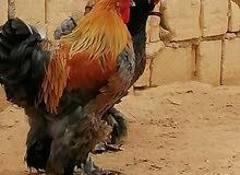 عندي كوبية دجاج
