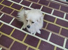 كلب زينة