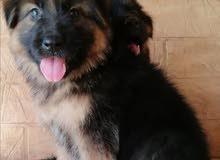 Chiot berger allemand poil long