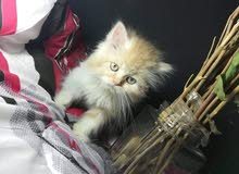 قط مون فيس صغير