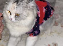 قطه شيرازيه ، انثى