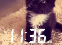 قطه صغيره شيرازيه جميله جداً