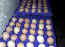 يتوفر بيض بلدي وفيومي