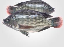 Telipa fish baby for sale
