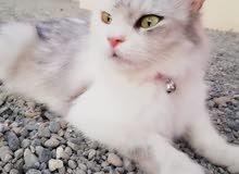 قطط لبيع
