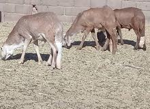 37 خروف سوداني