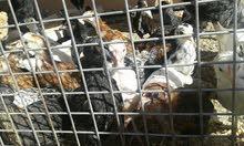 للبيع دجاج عماني