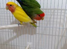 love Bird Pair for Sale with Cage