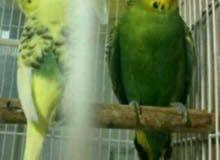 زوج طيور الحب كرست