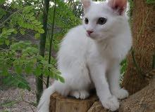 قط شيرازي ذكر أبيض فحت بعمره المتوسط ال7 الأشهر