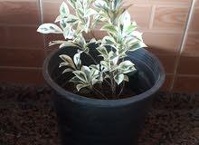 نباتات زينه للبيع