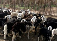 Sheep or goats for investment or breeding purpose. نجدي مهجن