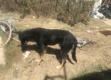كلب جيرمني شيبرد