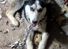 كلب هاسكي شورت هير بسعر مناسب مجرع ديدان
