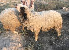 خروف تفحيل شفالي ونعجة سمينة
