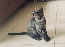 قط نوع arabian mau للتبني