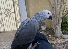 grey parrot friendly 0558433765