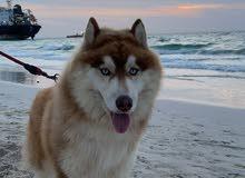 Alaskan husky for sale الاسكان هاسكي للبيع