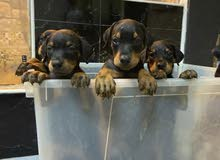 Top quality european doberman puppy