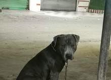 كلب بيتبول بيور للبيع حجم كبير XL عمر 9 شهور