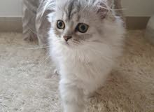 4 month old fully vaccinated female kitten