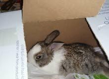 ارنب صغير للبيع