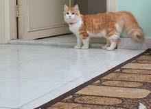 قط شيرازي ذكر 8 أشهر