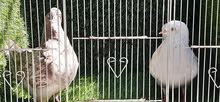 King Pigeon Pair for Sale