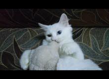 قط ابيض شيرازي لون العين عسلي و بحري ((ذكر))