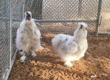 للبيع دجاج سلكي